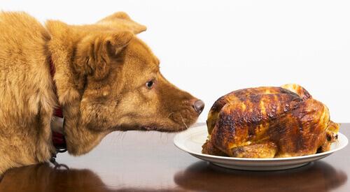 un cane annusa un pollo arrosto