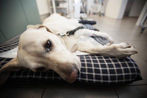 Cane appena operato al pronto soccorso veterinario