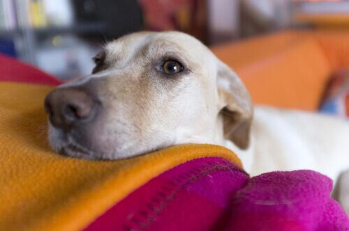 Cane bianco appoggia la testa sulle coperte del letto