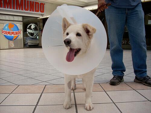 un cane bianco con un collare elisabettiano