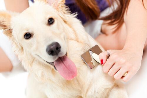 un cane bianco viene spazzolato dalla padrona