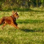 setter irlandese che corre nel parco