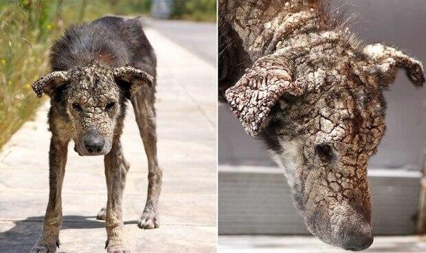 un cane colpito da scabbia sarcoptica