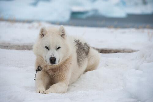 Cane dela groenlandia seduto nella neve