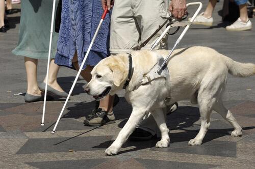 un cane guida accanto a una persona cieca che cammina
