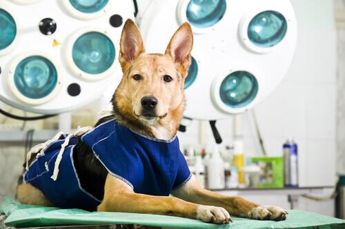 un cane lupo sdraiato sul lettino del veterinario