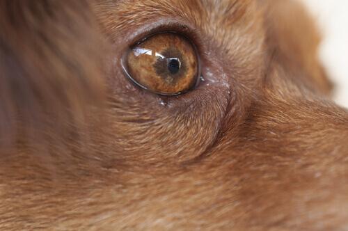 Congiuntivite nel cane: sintomi, prevenzione e trattamento