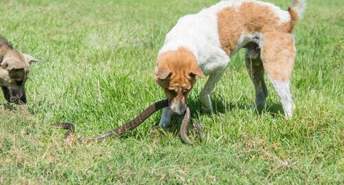 Cani mordono  un serpente in un prato