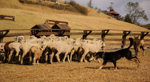 un cane pastore riunisce un gregge