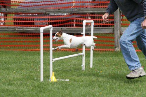 Cane salta in un percorso di agility