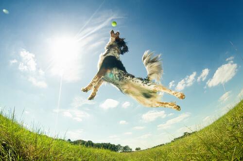 Cane salta per prendere una pallina da tennis