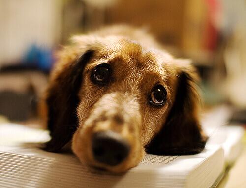 un cane sdraiato sul libro con gli occhioni tristi
