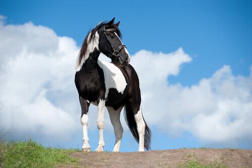 cavallo Paint bianco e nero su collina