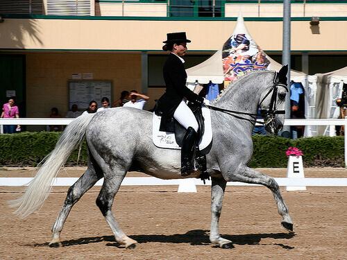 un cavallo grigio impegnato in una prova di dressage