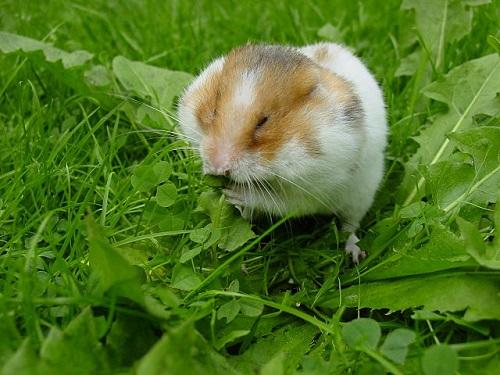 Malattie più comuni dei criceti domestici