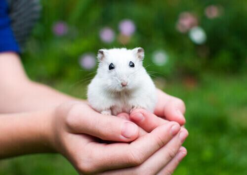 un criceto bianco tenuto in mano da un bambino