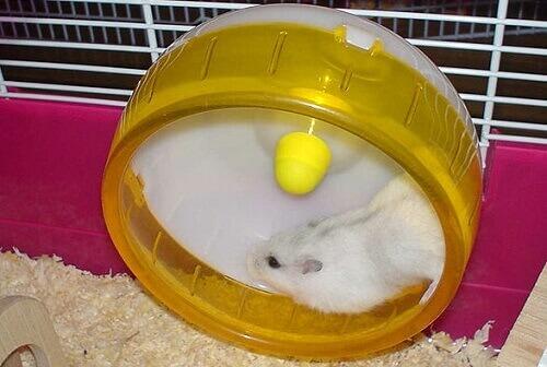 un criceto domestico corre nella sua ruota