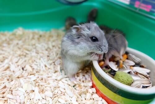 Il comportamento dei criceti: capirlo e migliorarlo
