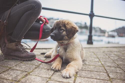 un cucciolo di Leonberger sdraiato in strada