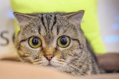 Ipertensione nei gatti: cos'è, come prevenirla e curarla