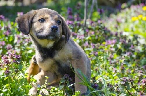 un cucciolo si gratta in un campo di lavanda