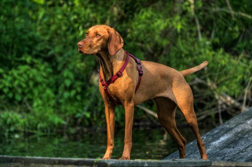 Bracco ungherese, uno dei cani da caccia più antichi