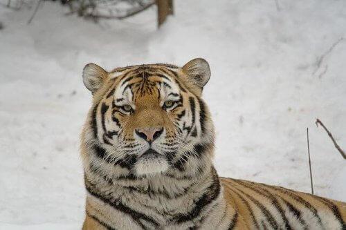 Tigre siberiana, grande predatore in pericolo di estinzione