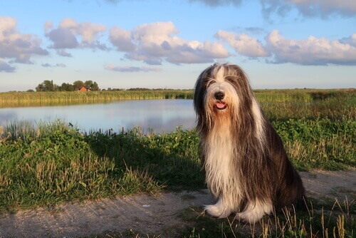 Bearded collie seduto in un parco