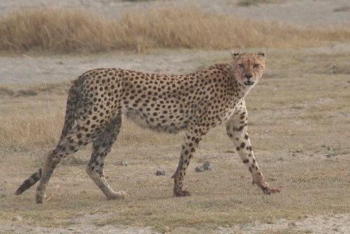 un esemplare di Ghepardo che cammina