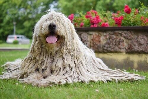 Komondor, il cane pastore degli Unni con pelo rastafari