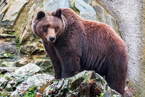 un esemplare di orso bruno americano tra le rocce