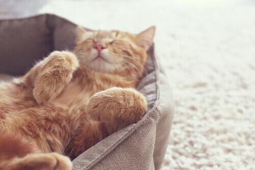un gattino rosso dorme zampe all'aria nella cuccia