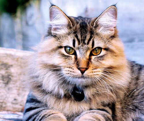 un gatto a pelo lungo con gli occhi gialli