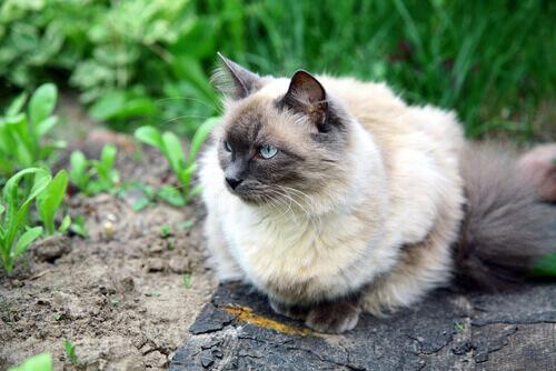 un gatto balinese accovacciato su una roccia