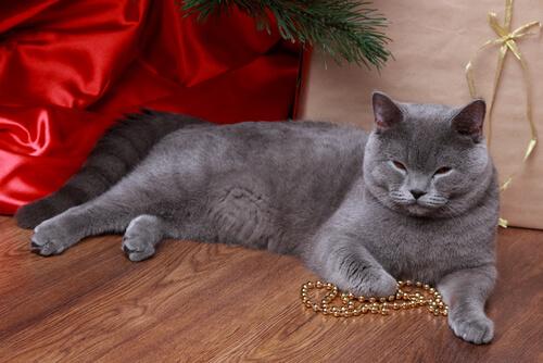 un gatto grigio sdraiato con una collana tra le zampe