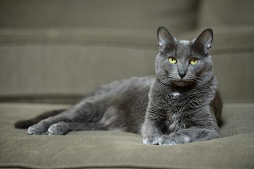 Tutto sul Korat, il gatto originario della Thailandia