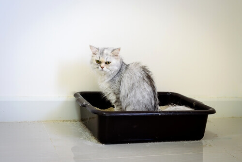 un gatto persiano nella lettiera