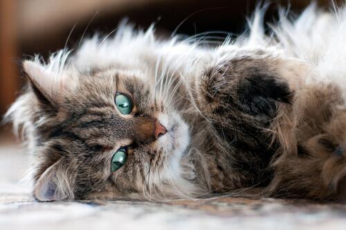un gatto persiano sdraiato di lato sul divano