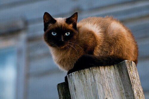 un gatto siamese appoggiato su un tronco d'albero tagliato