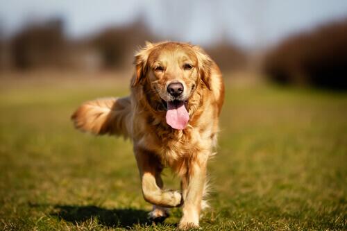 Displasia del gomito nei cani: cause, sintomi e cura