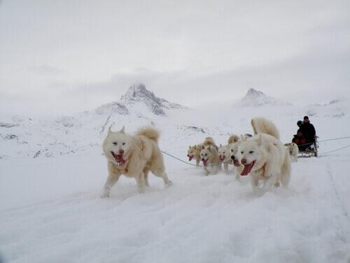 un gruppo di cani groenlandesi tirano la slitta