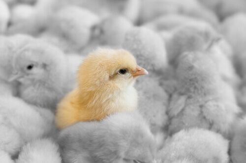 Influenza aviaria: impatto sulle aziende avicole