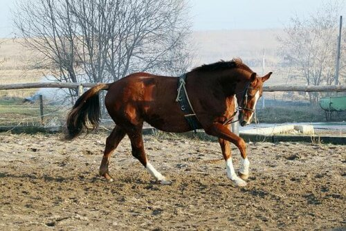 Holsteiner, l'eleganza fatta cavallo