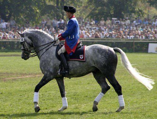 un holsteiner durante un concorso equino