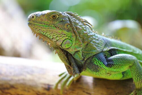 Iguana con la testa in alto