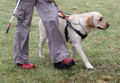 L'addestramento dei cani guida