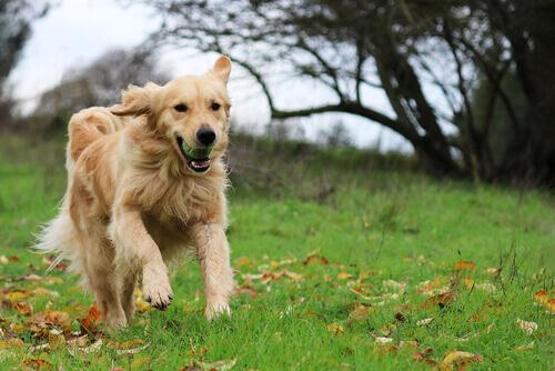 golden retriever corre in giardino con la palla in bocca