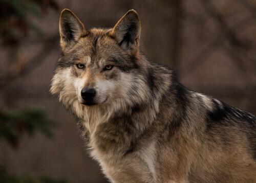 un lupo grigio messicano
