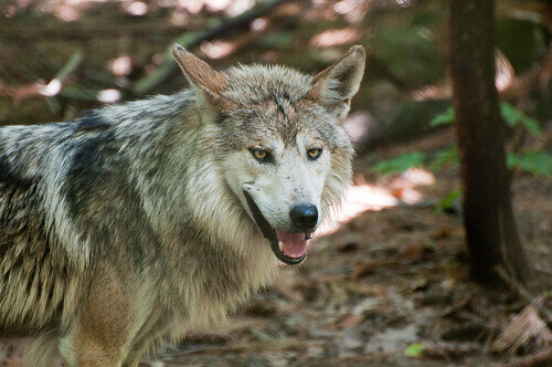 La convivenza tra lupi e bestiame è possibile in Italia?