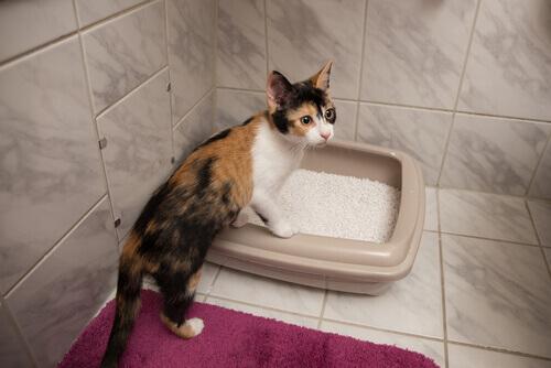 un micio che impara ad usare la lettiera in bagno